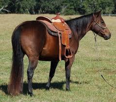 Le Quarter-Horse dans tout sur les races images